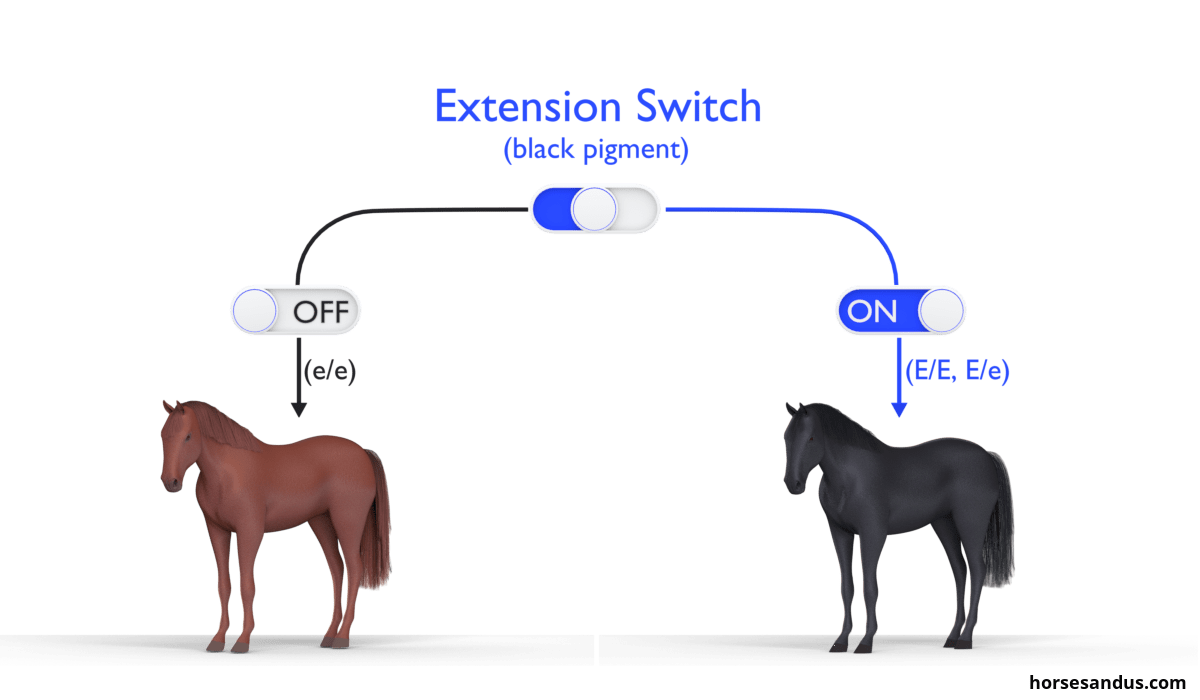 The 3 base horse colours. Equine Extension gene horse
